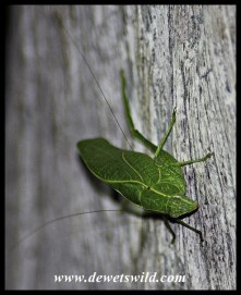 Cricket perfectly imitating a mopane leaf