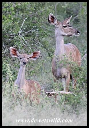 Kudu Calf