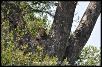 Leopard in a tree south of Skukuza