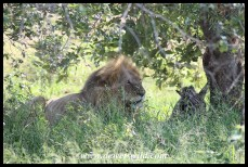 Lion with his zebra meal, just outside Satara