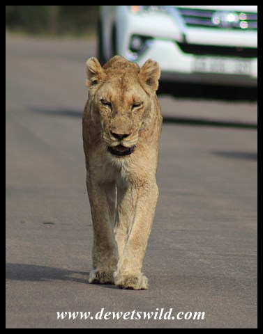 Lioness pacing the H4-1 between Skukuza and Lower Sabie