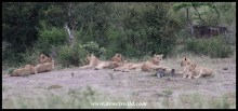 Pride of lions at Kumana Dam