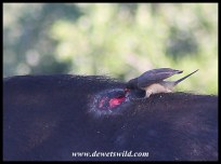 Yellow-billed Oxpecker on a festering wound