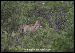 Roan antelope in the dense mopane near Middelvlei