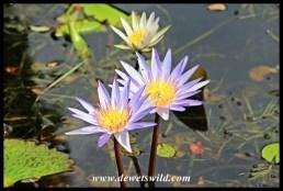 Water lilies in Skukuza