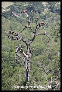 White-backed Vultures in a tree near a carcass