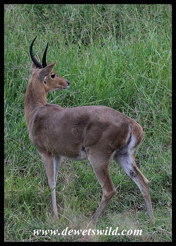 Southern Reedbuck in the Nshawu Vlei