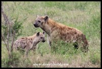 Spotted Hyena cub and mother
