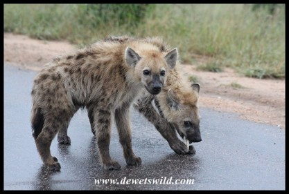 Spotted Hyena cubs with a bone