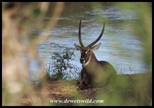Waterbuck Bull on the bank of the Sabie