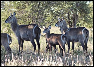 Waterbuck cows and calves
