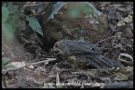 Juvenile Karoo Thrush searching for food in the leaf litter (Moreletakloof)