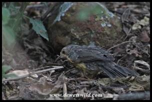 Juvenile Karoo Thrush searching for food in the leaf litter (Moreletakloof)