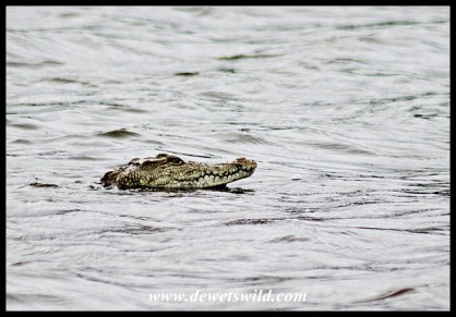 Nile crocodile at Sunset Dam