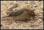 Long-tailed Widowbird female