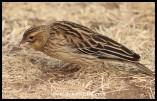 Long-tailed Widowbird (non-breeding)