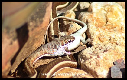 Western Stripe-bellied Sand Snake swallowing a skink in Shingwedzi