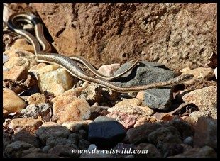Western Stripe-bellied Sand Snake after swallowing a skink in Shingwedzi