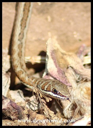 Western Stripe-bellied Sand Snake hunting skinks in Shingwedzi
