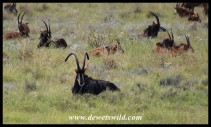 Sable Antelope bull and harem