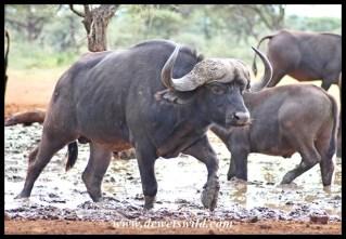 Buffalo Wallow at Dries se Gat, Mokala National Park