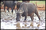 Buffalo Wallow at Dries se Gat, Mokala National Park