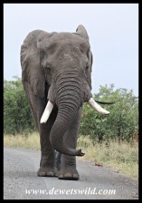 Elephant bull owning the road in Kruger National Park