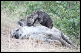 Spotted Hyena female and two young cubs