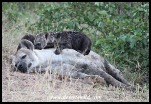 Spotted hySpotted Hyena female and two young cubsena family