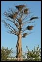 Baobab with Buffalo Weaver nests
