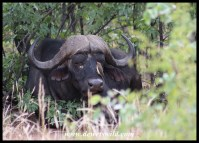 Sleepy buffalo and red-billed oxpecker