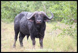 Mad old buffalo bull