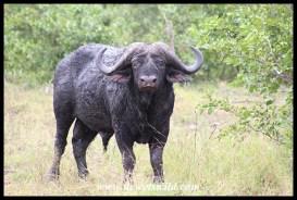 Mad old buffalo bull