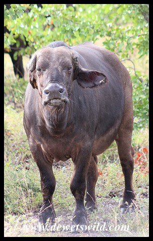 Buffalo cow without her horns