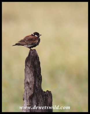 Chestnut-backed Sparrowlark