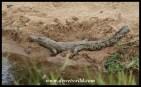 Nile Crocodile juvenile
