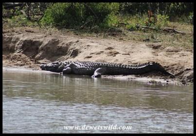 Big Nile Crocodile male