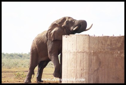 Elephant drinking from a reservoir