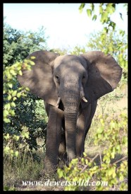Young elephant trying to figure out whether to fight or flee