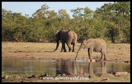 Elephants drinking from a seasonal pan