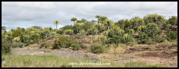 Stand of Euphorbias on the hill at Shipandani
