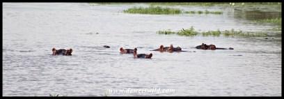 Hippo pod in the Pioneer Dam