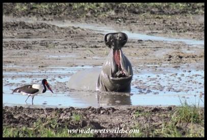 Hippopotamus yawn