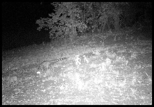 Large Spotted Genet captured on my camera-trap on the camp perimeter