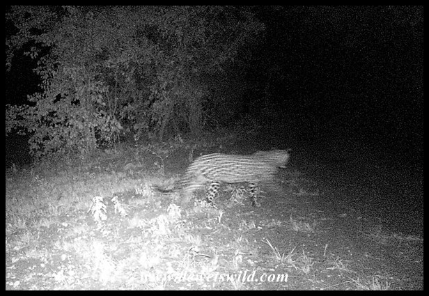 Leopard captured on my camera-trap on the camp perimeter