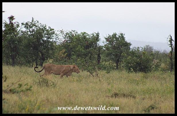 Lion pride in the rain at Tinhongonyeni