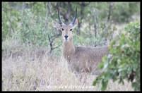 Southern Reedbuck ram