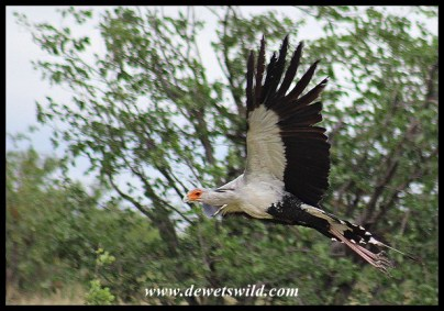 Secretary Bird taking off