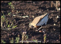 Temminck's Courser