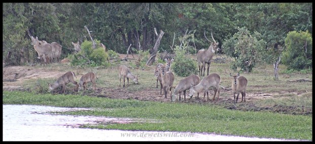 Waterbuck herd on the banks of the Pioneer Dam near Mopani